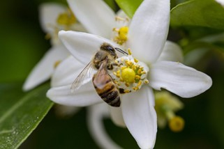 CATCH THE BUZZ-Protecting Honey Bees in Citrus Groves
