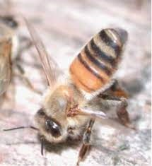 CATCH THE BUZZ – Honey Bee Communication…Odor Chemicals