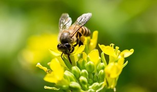 CATCH THE BUZZ- Honey Bees with help from Drones will Find Landmines.