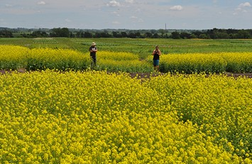 CATCH THEE BUZZ- Camelina….Biofuels and Bees