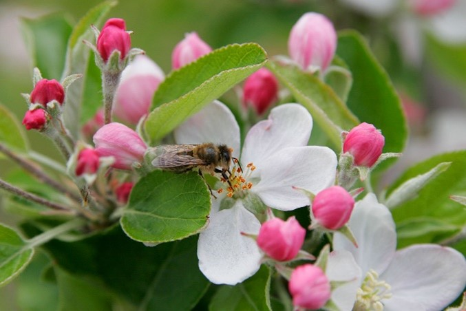 CATCH THE BUZZ- Apple Pollination from a Little Friend