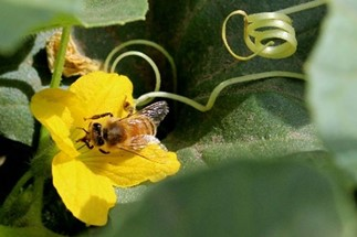 CATCH THE BUZZ- Michigan Vegetable Pollinator Stewardship Guide